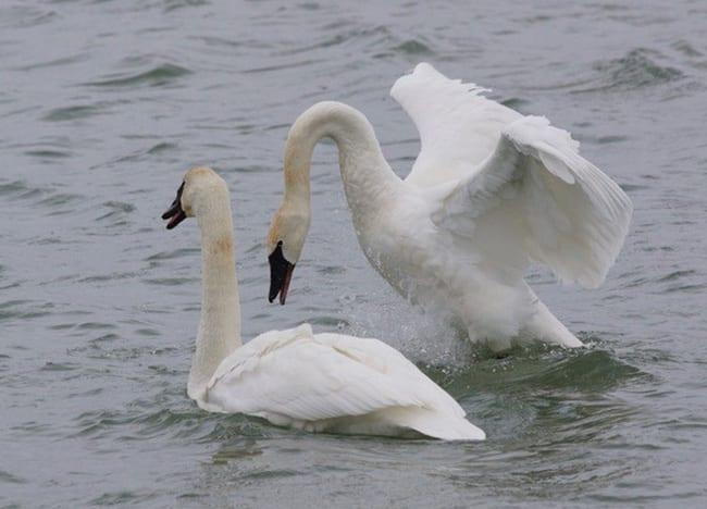 Swans-at-Wildlife-Lakes-Swan-Lake