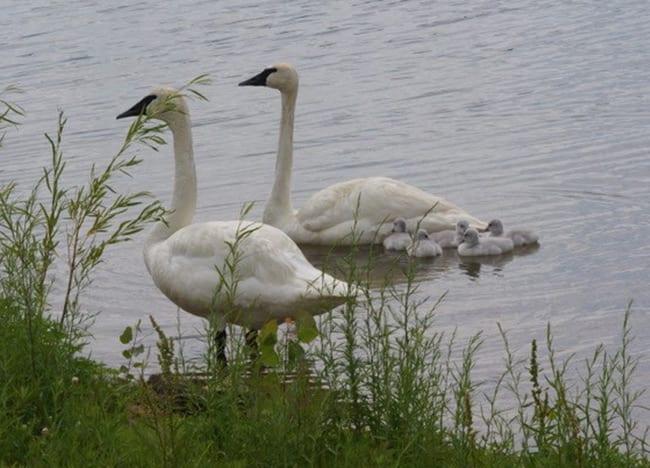 Swans-on-Swan-Lake-at-Wildlife-Lakes-Elk-Farm